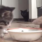 遠目より餌にガッツク子猫を観察するブラックキャットがどこか切ない