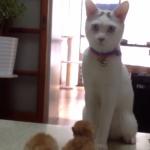 子猫の扱い方がわからない白猫