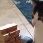 ジェンガで遊んでくれる猫