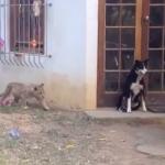 犬にそーっと近づく子供のライオン
