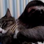 【ナマケモノと猫】見ているほうが溶けちゃいそうなリア獣っぷりな件