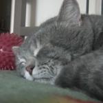 ねぼけまなこで飼い主のせきに抗議する猫