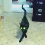 見事なモデル歩きを披露する黒猫