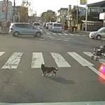横断歩道を一緒に渡ってくれる猫