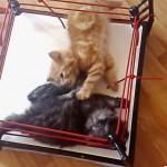 世界一萌えるレスリング!!リングでじゃれ合う可愛い子猫達