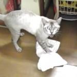 華麗なバックステップに注目!タオルで床掃除をする猫