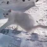 おねだりして外出した白猫、寒さのあまりあっさりと引き返す