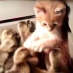 もふもふ攻撃!!ヒヨコだらけの箱に侵入した子猫