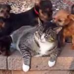 子犬に囲まれて羨ましい!と思いきや、うんざり顔の猫