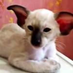 新種!?コアラのような耳の大きい猫
