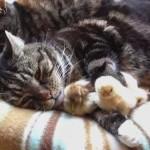 もっふもふ!ヒヨコ達と一緒に眠る2匹の猫に癒される
