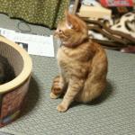 我が家に猫缶型の爪研ぎが登場!!行列が出来るほどの人気スポットに