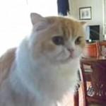 「おはよう」っていうと「おはよ~」っていう。オウムでしょうか、いいえ猫です!