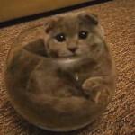 金魚鉢ならぬ猫鉢!?狭すぎる場所に挑戦する猫が凄い!