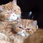 だ~い好きにゃ!愛情表現が熱烈な兄弟猫