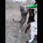 「もっと飲みたいにゃー!」ヤギとミルク争奪戦をする猫
