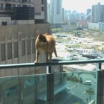 高層マンションの細い手すりの上を華麗に散歩する猫