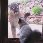 ガラス越しのピューマの威嚇を塩対応で乗り切る猫がイケメンすぎる