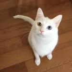 魅惑の瞳の虜になっちゃう!!美しすぎるオッドアイの白猫5選