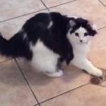 キッチンはダンスフロア!!華麗なステップで踊る猫