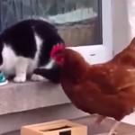 ニワトリ強し!!猫パンチされても一向に動じないニワトリにエサを取られてしまう猫