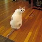 誰も遊んでくれないにゃー!!自分でねこじゃらしを振り回して遊ぶことにした猫