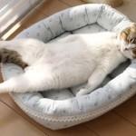 魅惑のラッコ系猫!!個性的な寝姿と愛くるしいまん丸頭が可愛い「どんぐりくん」