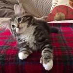 とってもファンキー!ブルーノ・マーズの曲に合わせてダンスする子猫