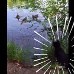 が、がまんできないにゃー!水辺に浮かぶ水鳥を狙うハンターにゃんこ
