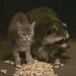 「今夜のディナーは何食べる?」イケメンアライグマと甘えん坊猫コンビのお食事タイムが微笑ましい!