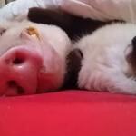 添い寝してあげるにゃ!豚といっしょに寝ている猫ちゃんがとっても幸せそう!!