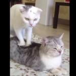 どこが凝ってますかにゃ!?「フミフミマッサージ」を器用にする猫が愛らしすぎる