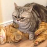 優しさ溢れる猫パンチ!短い足を器用に活かしてじゃれあう仲良しマンチカンたち