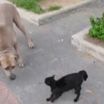 うちの子に手を出さないで!!子猫にちょっかいを出して来た大型犬を全力で撃退する母猫