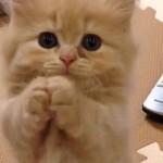短いお手手で器用におねだりをするマンチカンの子猫
