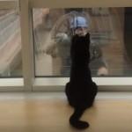 ガラス越しに窓拭きおじさんにじゃれつこうとする黒猫