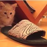 かわいすぎる突撃!!スリッパに飛び込むマンチカンの子猫