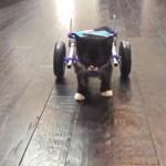 過酷な環境で生き抜いた子猫が車いすで踏み出す一歩に感動!