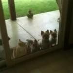 お入りにゃさい!!ワンちゃんのためにドアを開けるとっても親切な猫