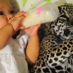 まさかの組み合わせ!!赤ちゃんと一緒に仲良くミルクを飲むヒョウの赤ちゃん