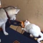ほのぼの感満載な争い!!うさぎのぬいぐるみを取り合うお茶目な犬と猫