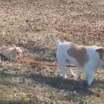 絶対放さないのにゃ!犬のリードをがっちり掴んで離さない猫