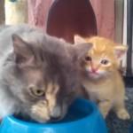 母猫をマネて怖がりながらも水飲みに挑戦する激カワな子猫