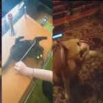 なんでとれないのにゃ!!ガラステーブルに悪戦苦闘する猫たち