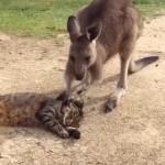 カンガルーから愛情のこもったスキンシップを受ける猫