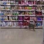 やっぱり猫はマイペース!お店の中を自由に探索するアクティブにゃんこ