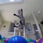 大興奮!!ボールプールでアクロバティックに遊ぶ猫