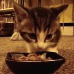 ご飯を頬張りながら必死におしゃべりをする器用な子猫