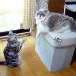 器用な前足に注目!同居猫に可愛らしくお願いをするおねだりにゃんこ