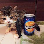 奇跡のチビ猫!小猫症の病気を抱えながらも天使のように癒しをくれる子猫のような成猫